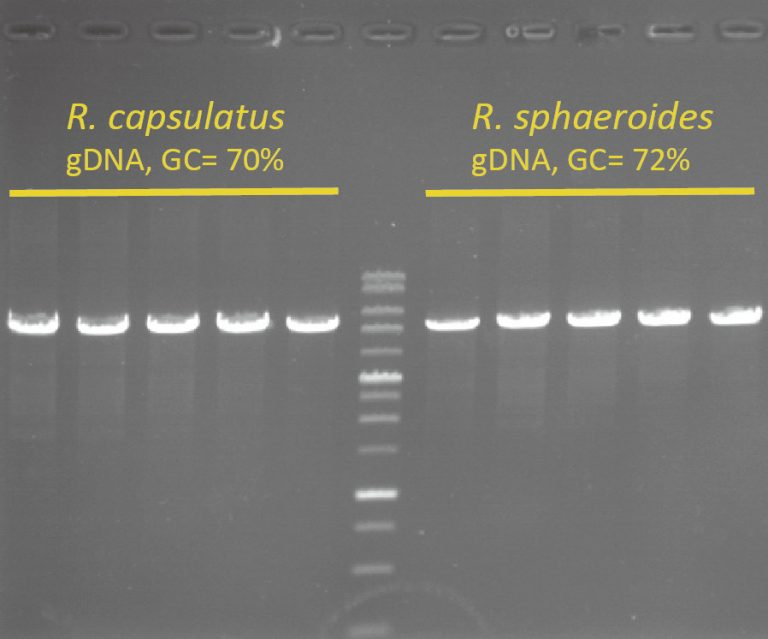 High-Fidelity-DNA-Polymerase-High-GC-content
