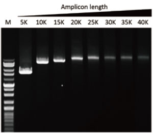 high-GC-high-fidelity-DNA-polymerase
