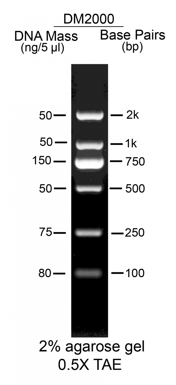 Simple-100bp-DNA-marker